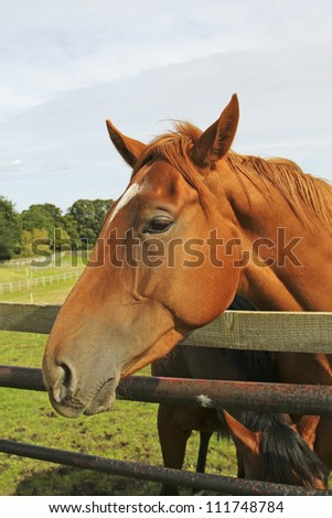 Portrait of bay horse against a fence
