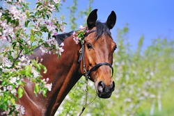 Portrait of bay horse in spring garden with blossoming apple trees