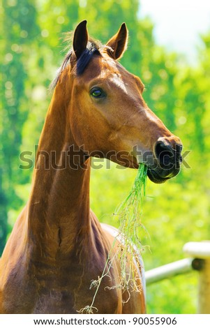 Portrait of bay horse in the field