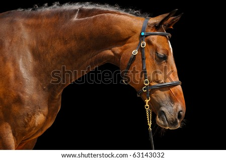 Portrait of bay horse, isolated on black