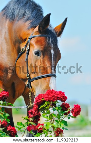 Portrait of bay purebred horse