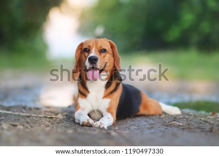 Portrait of beagle dog lying on the ground outdoor in the park. #1190497330