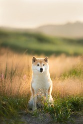 Portrait of beautiful and happy red Shiba inu dog sitting in the field at golden sunset in summer. Adorable japanese shiba inu dog in backlight