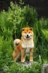 Portrait of beautiful and happy shiba inu dog standing in the forest. Gorgeous and prideful Red shiba inu young female in autumn. Green fern background