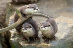 portrait of beautiful and playful river otter, wildlife Czech republic