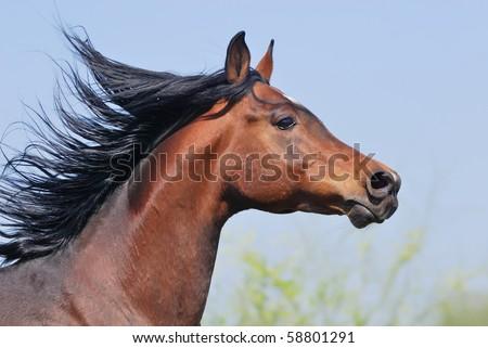 portrait of beautiful arabian horse in motion - stock photo