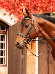 portrait of beautiful  bay Trakehner  breed stallion posing against stable building with red leaves bush. autumn time