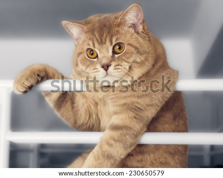 Portrait of beautiful British cat leaning on railing on black white background