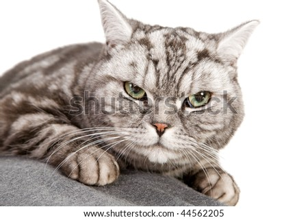 portrait of beautiful british shorthair cat closeup