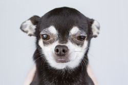 portrait of beautiful chihuahua dog isolated on grey background