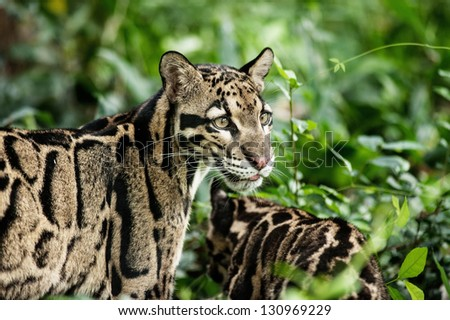 Portrait of Beautiful Clouded Leopard (Neofelis Nebulosa)