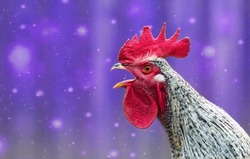 Portrait of beautiful colorful crowing rooster with bright red comb isolated on blue background with bokeh.Countryside concept with domestic singing bird close up on the farm.Copy space for text