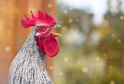 Portrait of beautiful colorful crowing rooster with bright red comb isolated on nature background with bokeh.Countryside concept with domestic singing bird close up on the farm.Copy space for text
