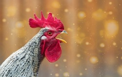 Portrait of beautiful colorful crowing rooster with bright red comb isolated on orange background with bokeh.Countryside concept with domestic singing bird close up on the farm.Copy space for text