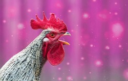 Portrait of beautiful colorful crowing rooster with bright red comb isolated on purple background with bokeh.Countryside concept with domestic singing bird close up on the farm.Copy space for text