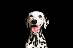 Portrait of beautiful Dalmatian dog looking at camera isolated on black background