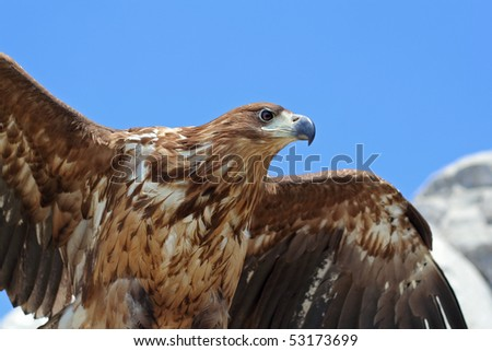 Portrait of beautiful eagle ready to take-off
