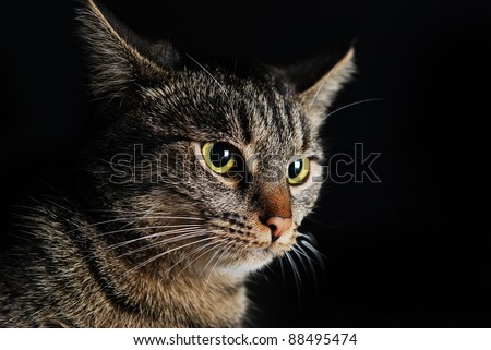 Portrait of beautiful gray striped cat with bright yellow eyes on black background closeup