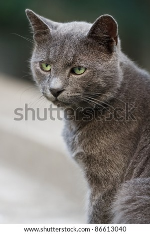 Portrait of beautiful grey cat with green eyes