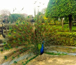Portrait of beautiful peacock with feathers out at public park.