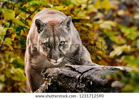 Portrait of Beautiful Puma in autumn forest. American cougar - mountain lion, striking pose, scene in the woods, wildlife America