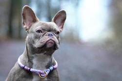 Portrait of beautiful rare colored lilac brindle female French Bulldog dog with light amber eyes and violet paracord collar