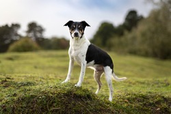 Portrait of beautiful ratterrier looking into the camera. Dog is standing in the middle of the grass with trees on background.