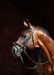portrait of beautiful Trakehner stallion on stable background.  sunny morning