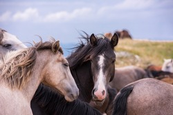 portrait of beautiful wild horses with long mane while graze in the meadow