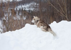 Portrait of beige and white dog breed siberian husky in winter forest. Cute husky topdog is lying on the hill on the snow and observing mountains and forest.