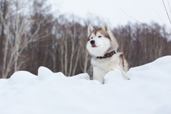 Portrait of beige and white dog breed siberian husky in winter forest. Image of Cute husky topdog is lying on the hill on the snow and observing mountains and forest.