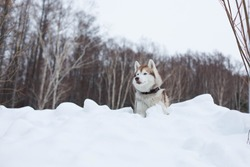 Portrait of beige dog breed siberian husky in winter forest. Beautiful husky topdog is lying in the hill on the snow and observing mountains and forest.