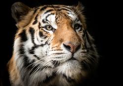 Portrait of Bengal Tiger