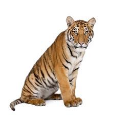 Portrait of Bengal Tiger, Panthera tigris tigris, 1 year old, sitting in front of white background, studio shot