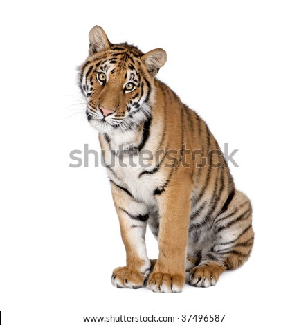 Portrait of Bengal Tiger, Panthera tigris tigris, 1 year old, sitting in front of white background, studio shot - stock photo