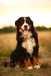 Portrait of bernese mountain dog sitting in the yellow field and looking at camera