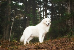 Portrait of big and beautiful white maremma dog standing in the green forest. Gorgeous Maremmano abruzzese sheepdog