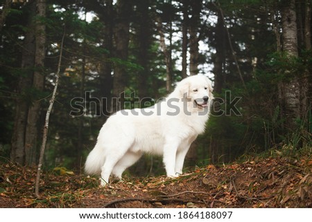 Portrait of big and beautiful white maremma dog standing in the green forest. Gorgeous Maremmano abruzzese sheepdog Foto stock ©