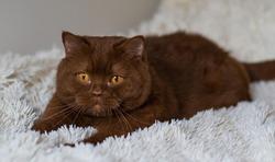 Portrait of big British short hair, brown  cat. cinnamon color.
