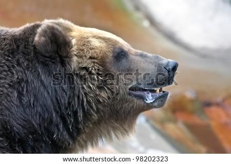 Portrait of  big brown bear