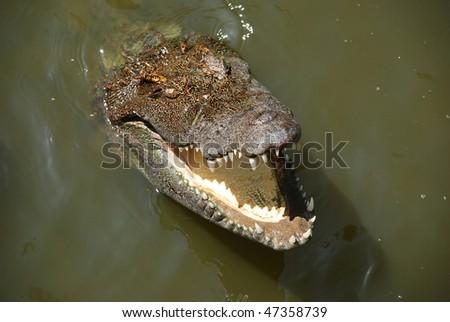 Portrait of big crocodile at the farm in Vietnam