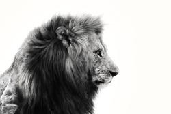 Portrait of big Lion in Masai Mara, Kenya
