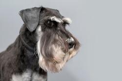 Portrait of black and silver miniature schnauzer shoot in studio