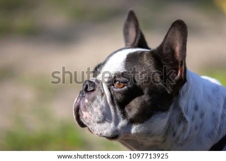 Portrait of black and white french bulldog #1097713925