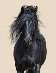 Portrait of black Andalusian Horse with long mane.
