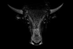 Portrait of black bull on black background