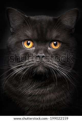 Stock Photo Portrait of black cat on black background