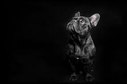 Portrait of Black French Bulldog on black background