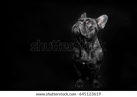 Portrait of Black French Bulldog on black background