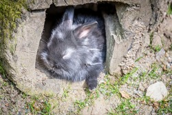 Portrait of black small fluffy rabbit hiding at interior of rotten log in a sunny day.